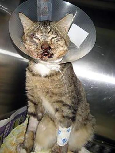 Травмы домашних кошек при свободном уличном выгуле.