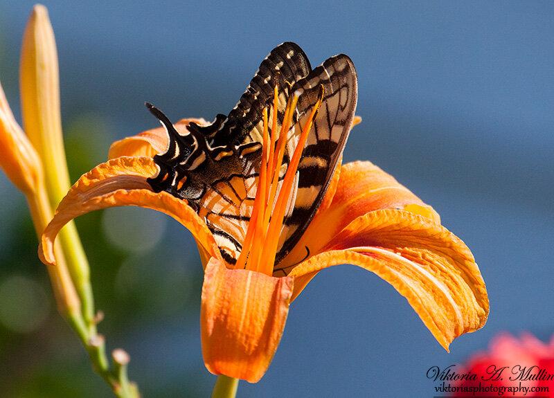 Полное погружение-бабочка и лилия-9995