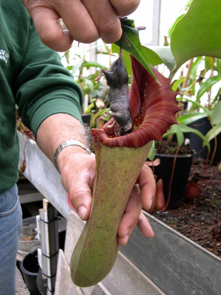 Непентес: уход и возможные проблемы при выращивании