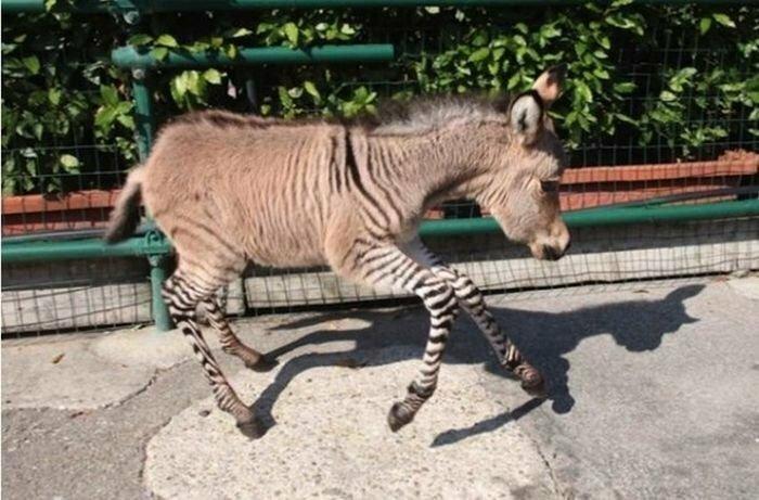 осел и зебра