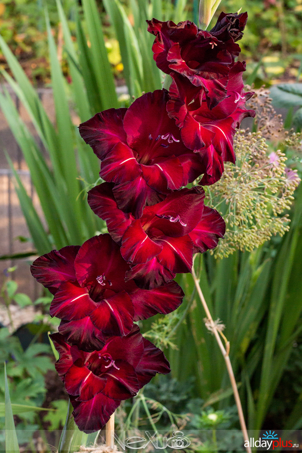 Я люблю все цветы, выпуск 209 | Гладиолус - «маленький меч».
