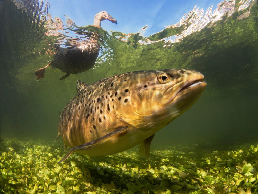20. Этого рогатого красавца зовут Parablennius gattorugine. (Фото Trevor Rees | Underwater Phot