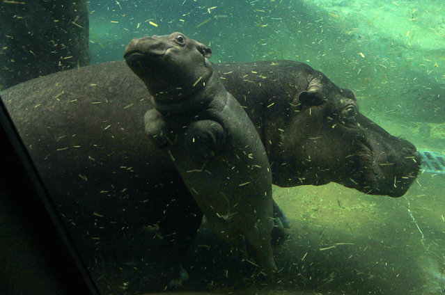 A baby hippo swims under the water near its mother Maruska in their enclosure at Prague Zoo, Czech R
