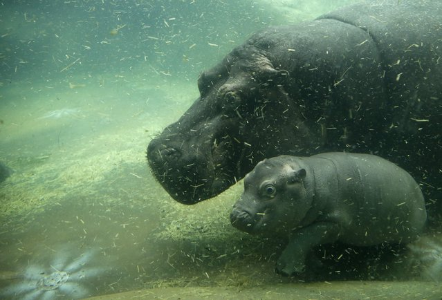 Newborn baby hippo swims with its mother Maruska at their enclosure in the zoo in Prague, Czech Repu