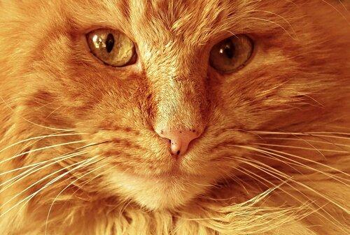 Рыжий кот по кличке Чубайс