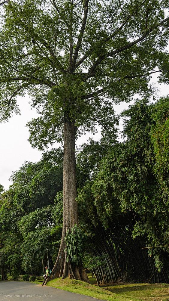 Фото 19. Вот такие деревца посажены в Королевском Ботаническом Саду Перадения (The Royal Botanical Garden of Peradeniya) на Шри-Ланке. Отзывы о самостоятельном отдыхе.