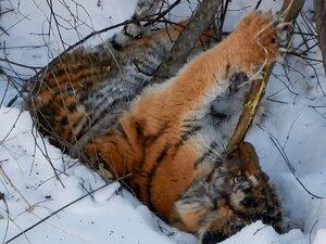 Третий тигренок, найденный у «Земли леопарда», скончался от последствий голода