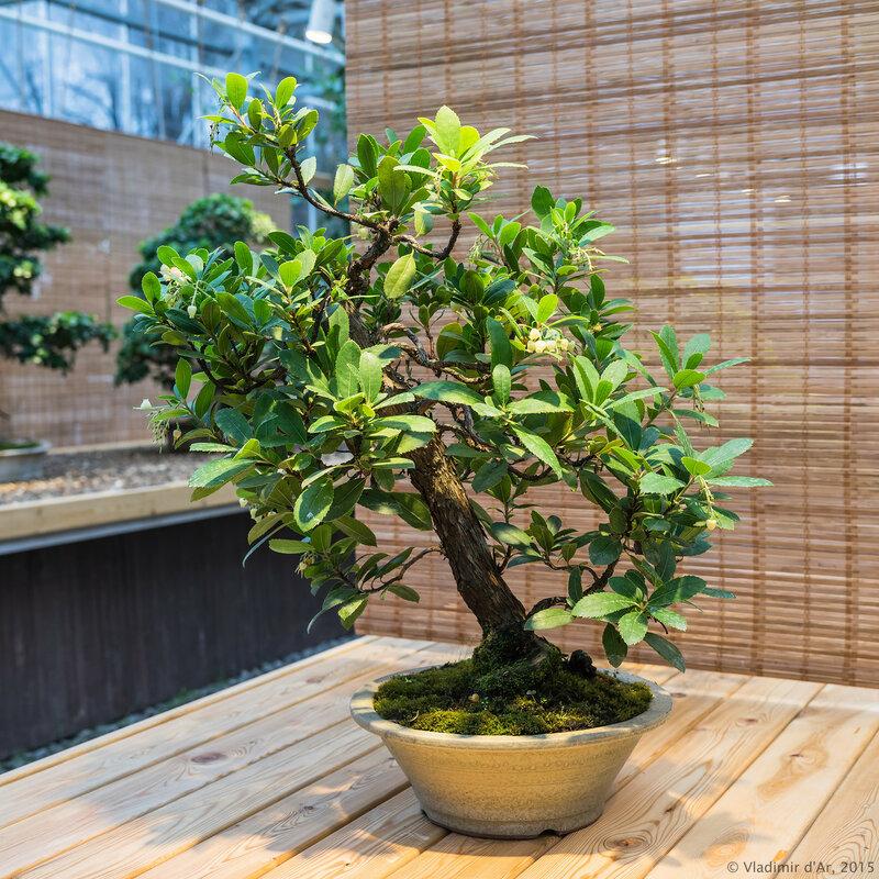 Земляничное дерево крупноплодное. Возраст - около 30 лет.