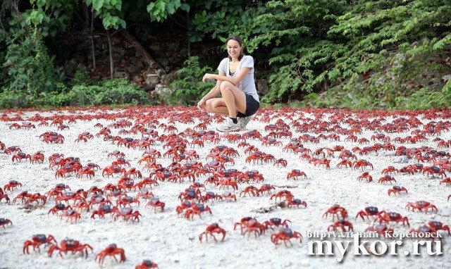 Красные крабы Острова Рождества фото