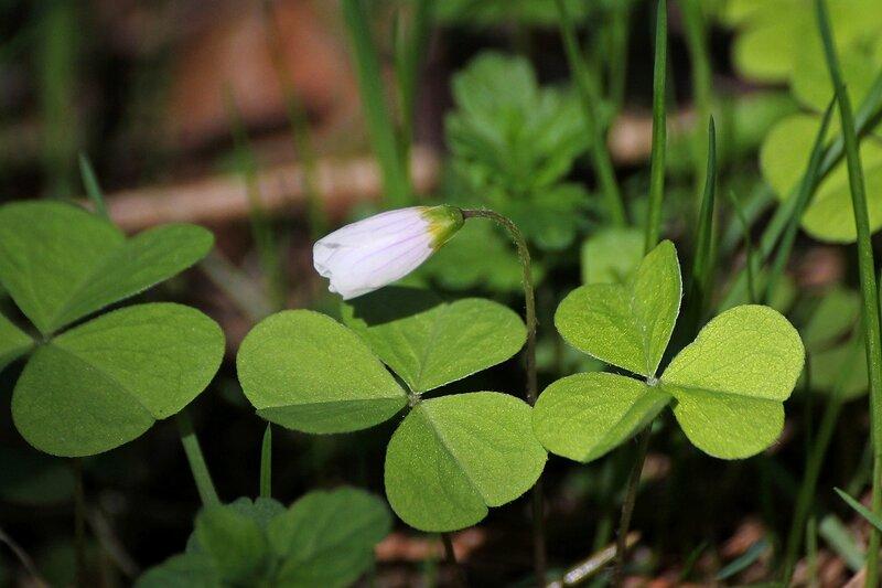Цветёт кислица обыкновенная (Oxalis acetosella), она же заячья капуста
