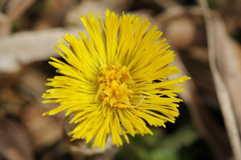 Цветок мать-и-мачехи IMG_4484