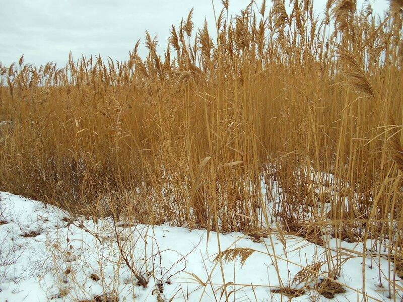На зимней тропе, у камышей ... DSCN3320.JPG