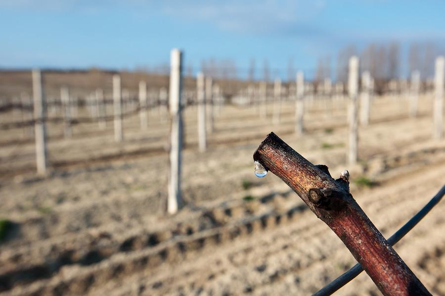 Сокодвижение винограда