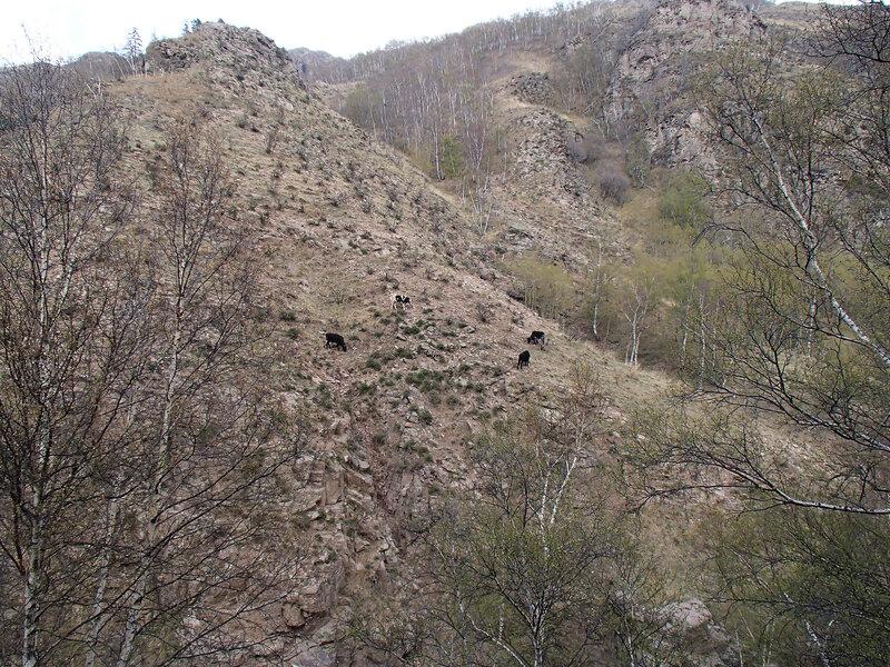 коровы  в горах инь шань, внутренняя монголия, китай