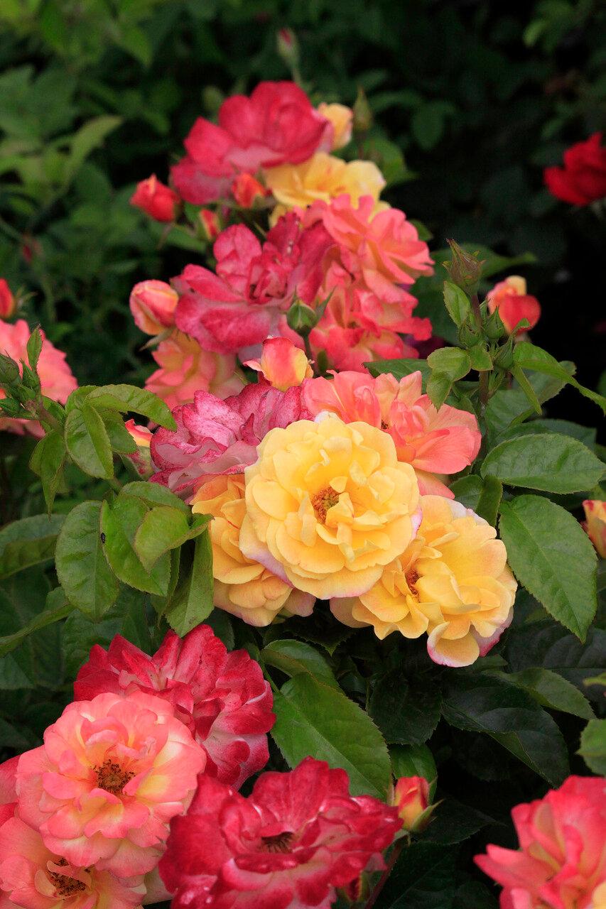 роза матисс фото