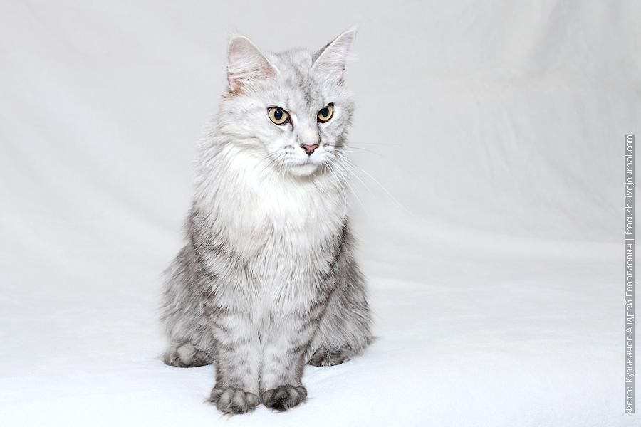 производитель кошка Мейн-кун