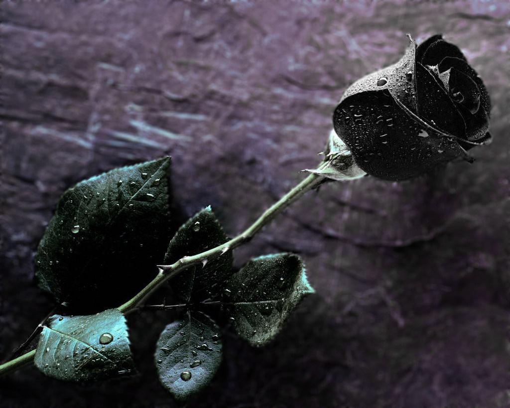 картинки красивые черные розы
