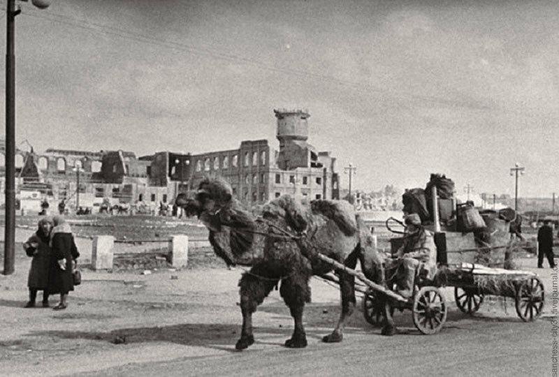Советский армейский верблюд в Сталинграде