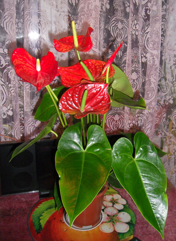 Цветок женское и мужское счастье и описание