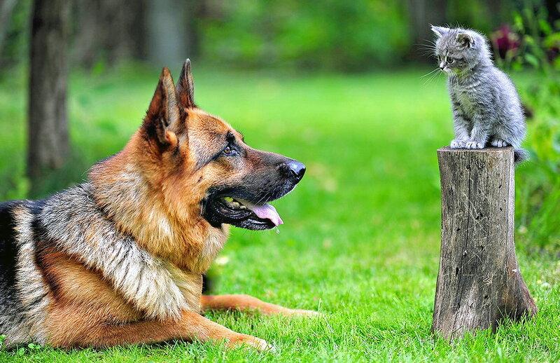 Немецкая овчарка и котёнок