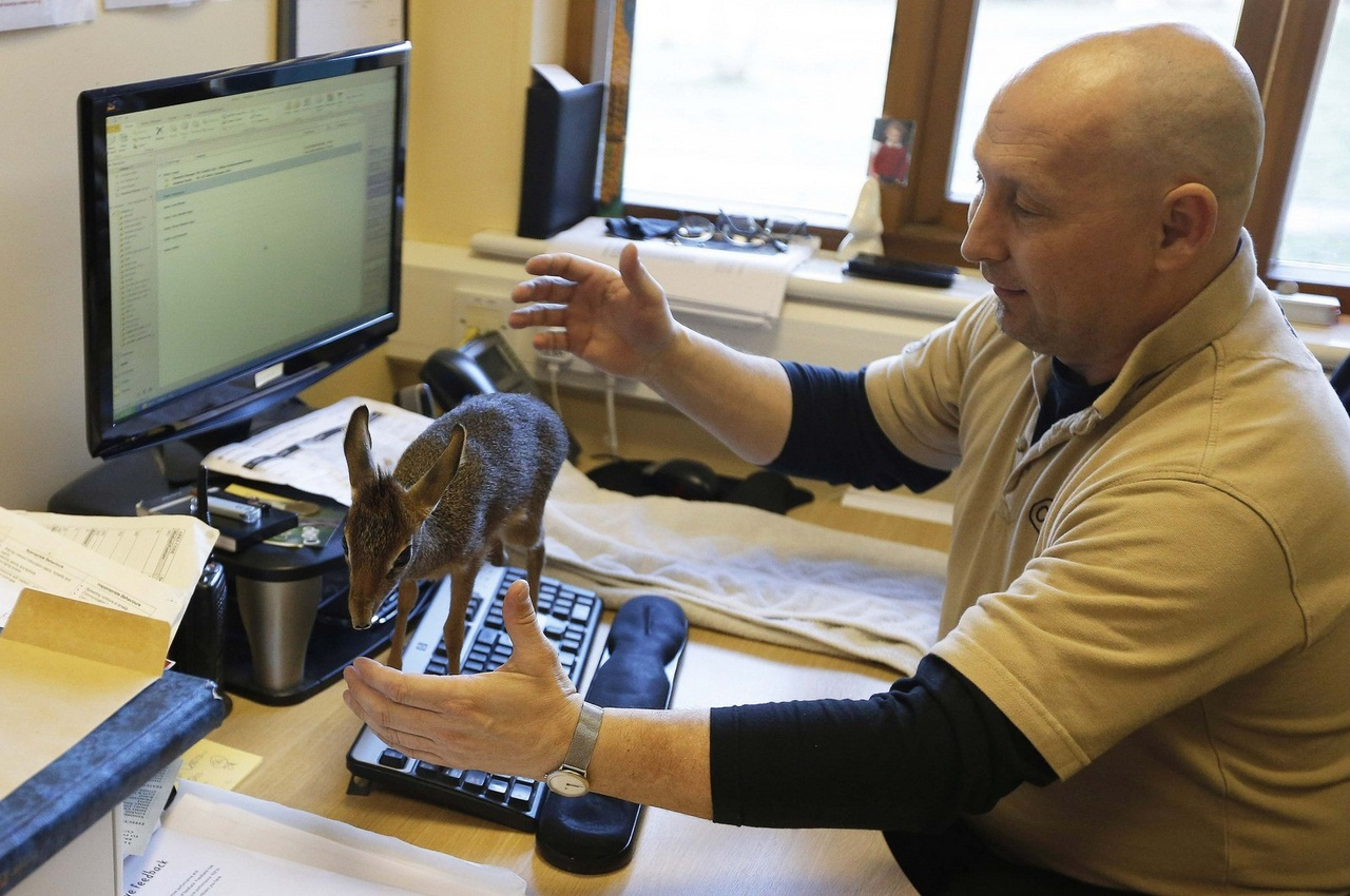 A baby Dik-dik, walks across a computer keyboard in the office of Tim Rowlands curator of mammals at Chester Zoo