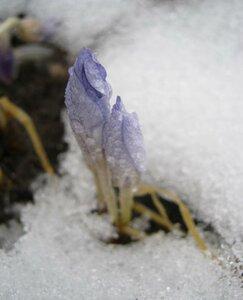 6 января 2014г. Крокусы осенние.