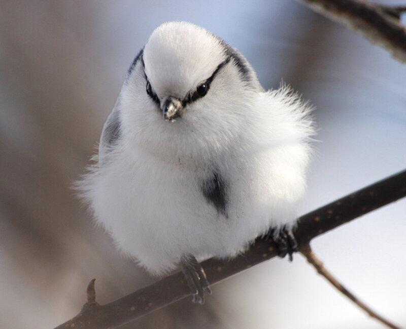 Пушистая птичка
