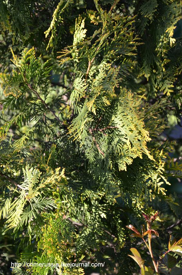 ветки хвойного дерева