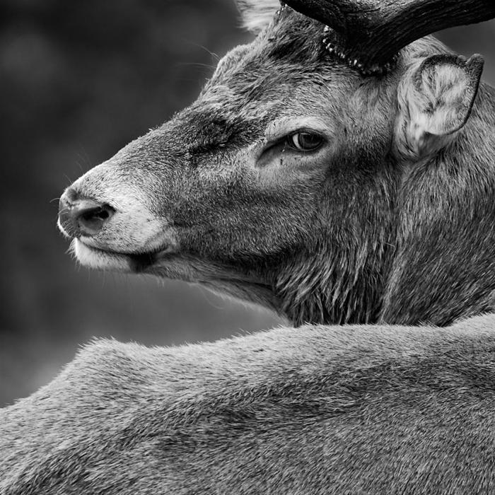 Монохромный портрет благородного оленя. О себе Сэм Коппард (Sam Coppard) говорит, что ему нравится в