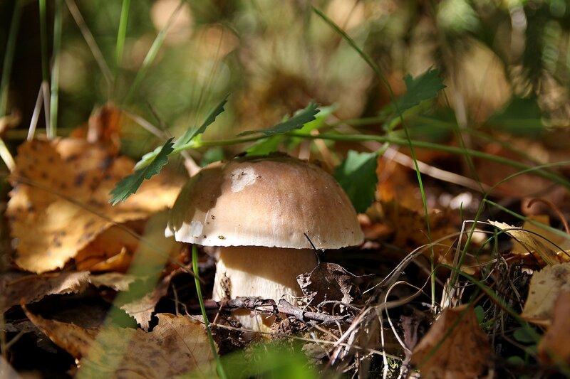 Белый гриб (боровик, Boletus edulis) Img_8129