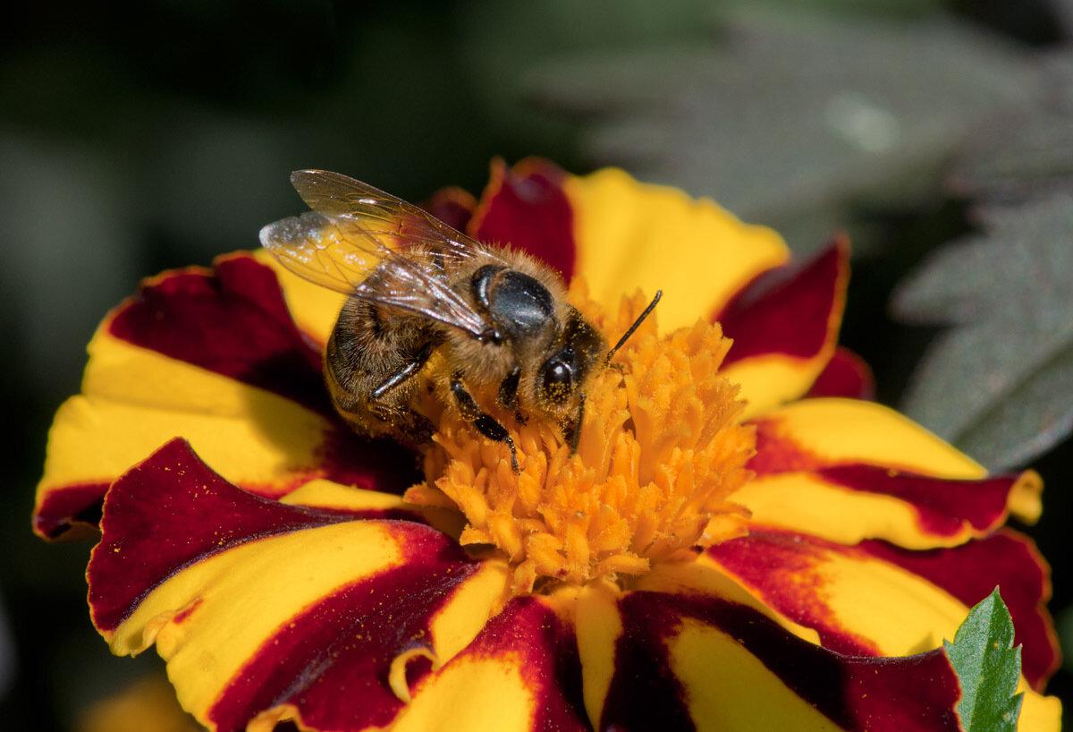 Пчела медоносная (Apis mellifera) Автор фото: Владимир Брюхов