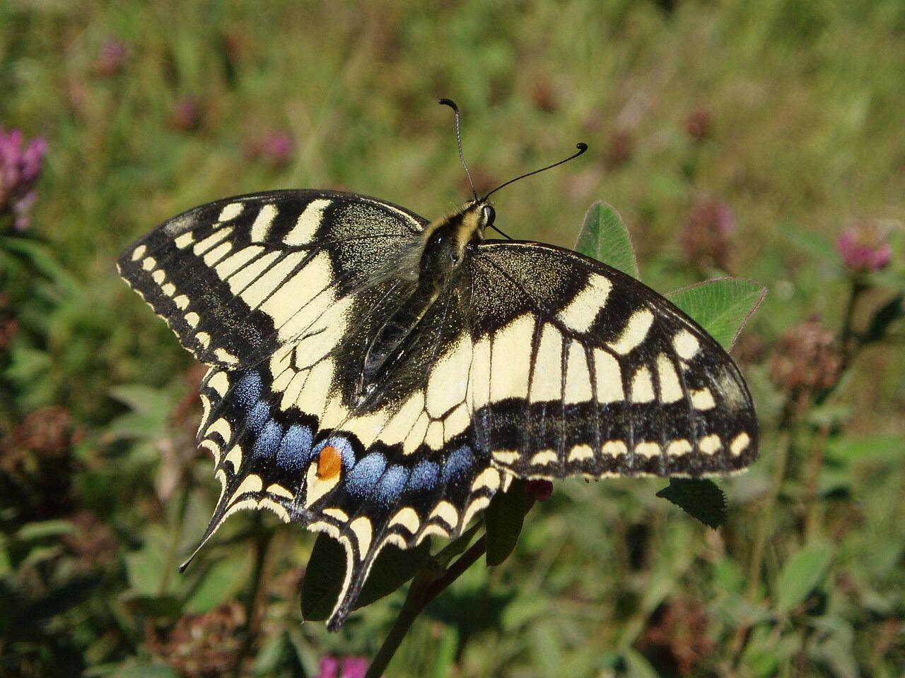 Махаон (Papilio machaon) Автор фото: Владимир Брюхов