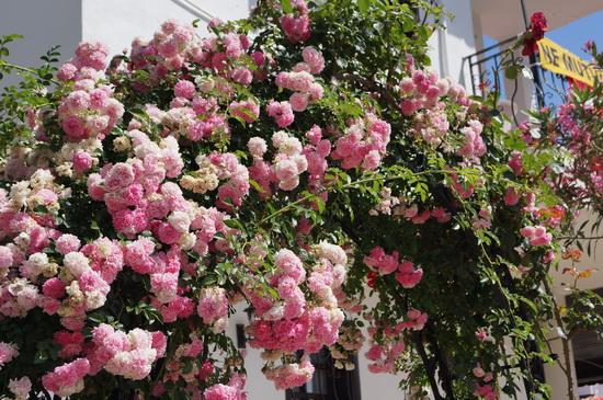 Фото цветы турция 138
