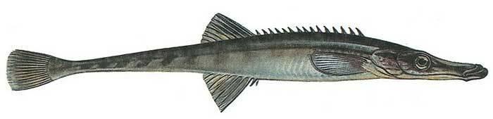 Морская колюшка