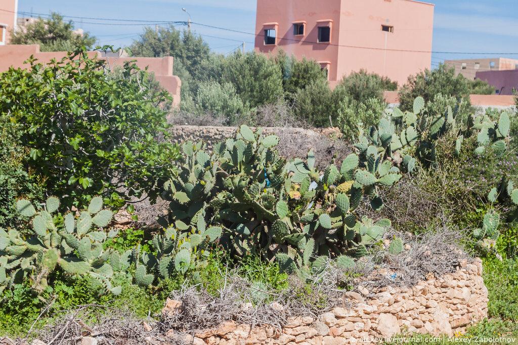 Плоды кактусов в Марокко