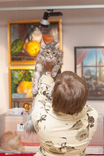 """Международная выставка кошек AFC """"Удивительные лесные кошки"""", 1 марта 2014 г. Сургут 0_b259c_45bed517_L"""