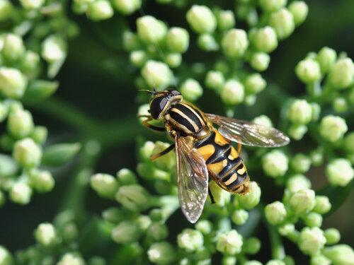Альбом:  Мир под ногами/  Двукрылые - Diptera / Syrphidae - Журчалки Автор фото: Владимир Брюхов