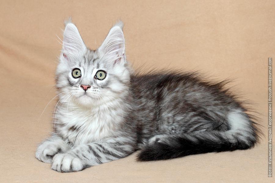 котенок Мейн-кун черный пятнистый серебряный