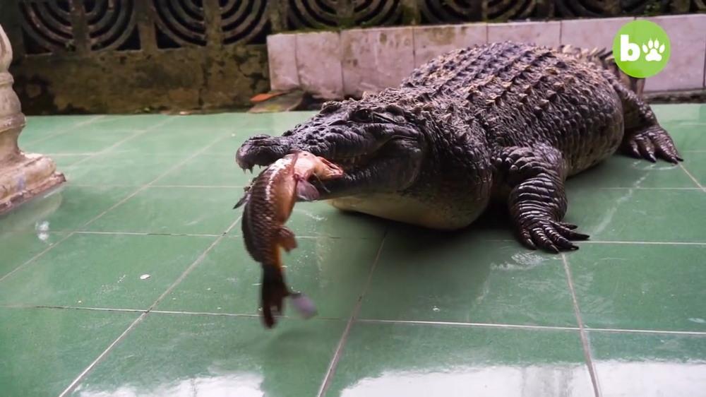 В индонезийской семье 20 лет живет 200-килограммовый крокодил
