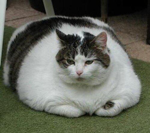 60 процентов испанских котов страдают от ожирения