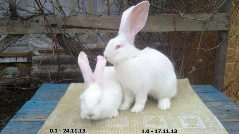 Бельгийский Великан(Обр,Ризен,Фландр) Кролики гиганты.часть 2 - Страница 6 0_d73db_d5ff7ce5_XL