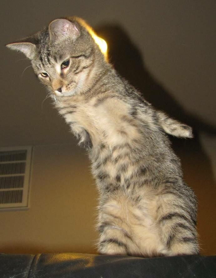 Двуногий котенок Меркьюри