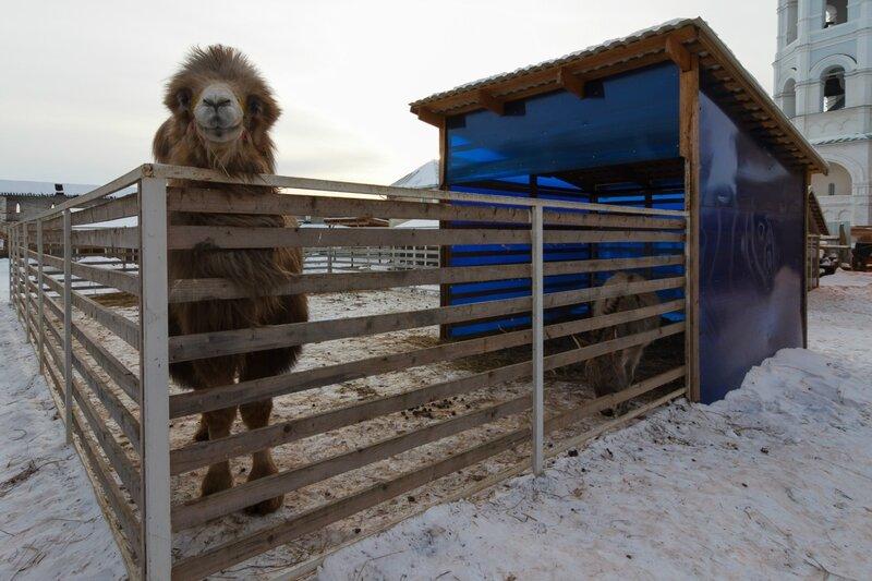 Верблюд и ослик в монастырском зверинце