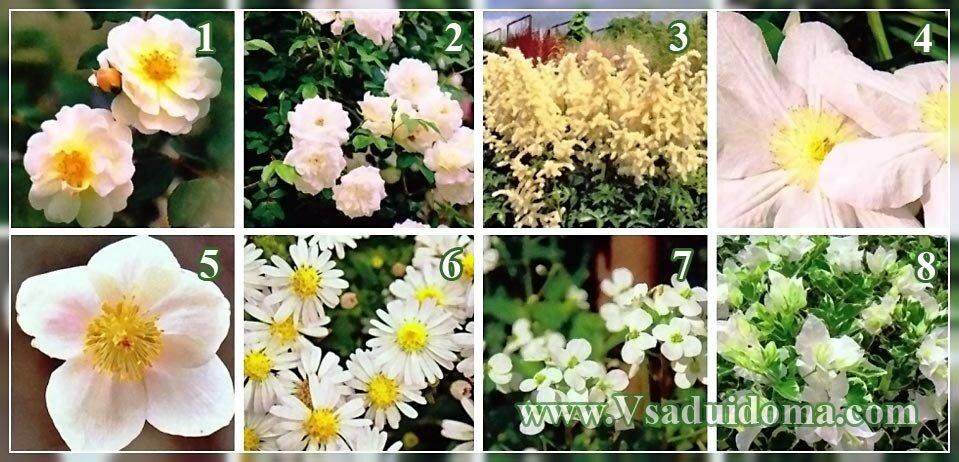 белые цветы для сада фото