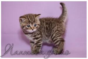 шоколадная пятнистая британская короткошерстная кошка