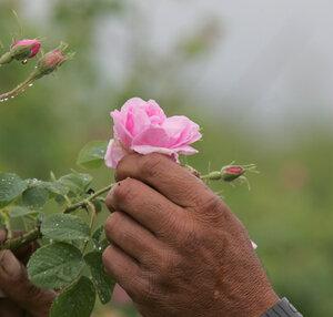 роза легенды