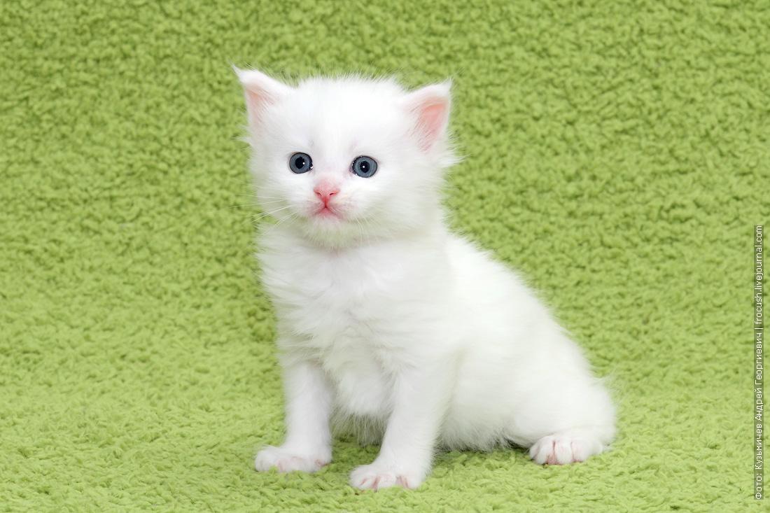 продам белого котенка Мейн-кун