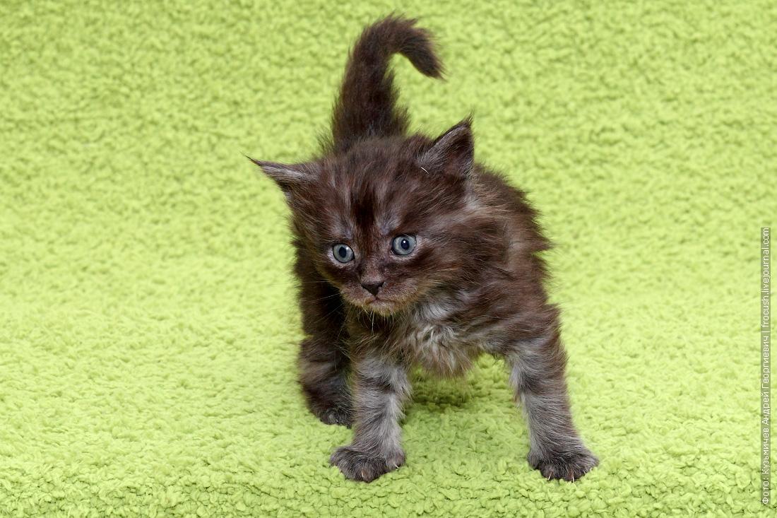 купить котенка Мейн-кун из питомника в Москве