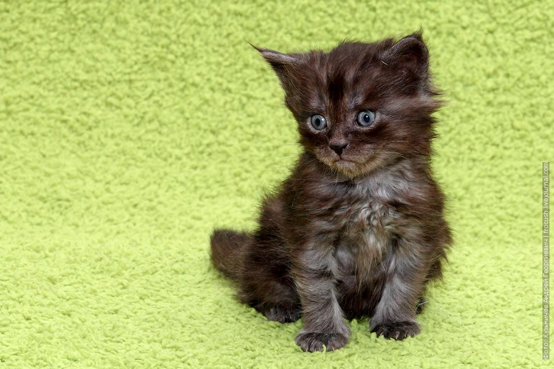 купить котенка Мейн-кун из питомника