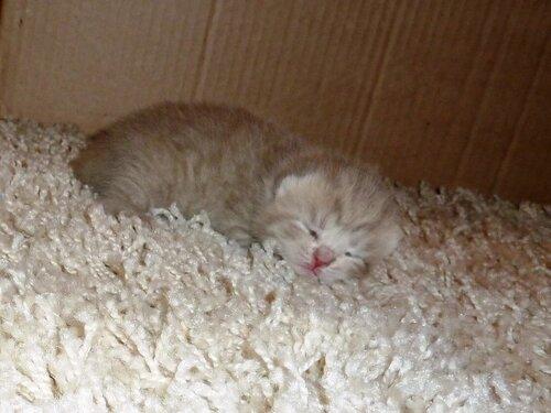 Британские котята из питомника Camelot Castle 0_e63c1_53726bb8_L